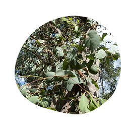 peppermint gum - eucalyptus dives - australian essences