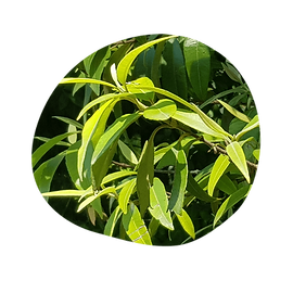 lemon myrtle - backhousia citriodora - australian essences