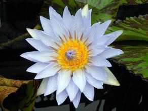 לוטוס כחול - הפרח המצרי הקדוש