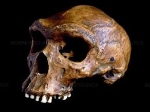 חידת גולגולת קבווה הפרהיסטורית עם חור הקליע