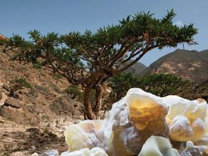 לבונה - צמח הפלא המקראי על סף הכחדה