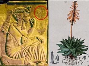 'צמח האלמוות' הקדום המטפל ביותר מ-50 מצבים רפואיים