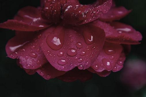 Rose-581693_edited.jpg