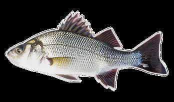barramundi-fish-nutrition-technologies