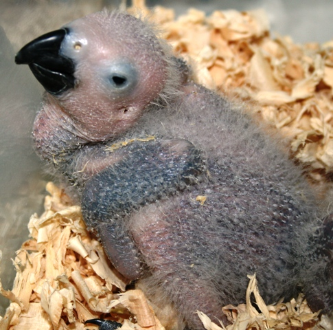 African Grey Baby