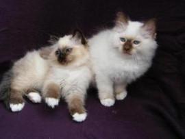 Emmies & Bubbas Kittens Dec09 at 11 week