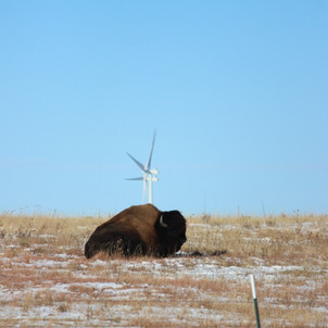 Buffalo Relaxing