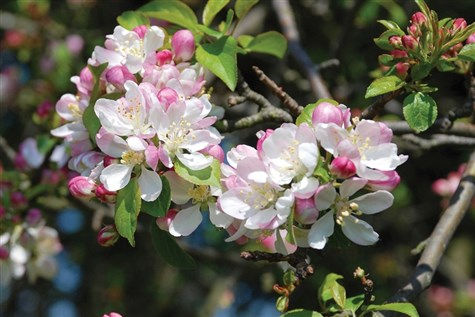 Blossom Trail Vale of Evesham