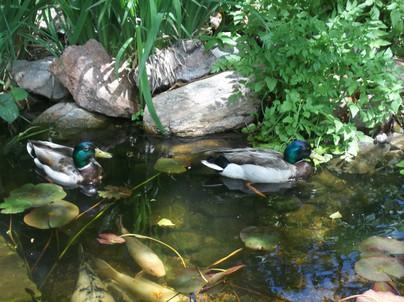 Ducks (1).JPG