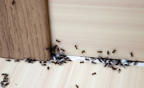Ants in the house on the baseboards and