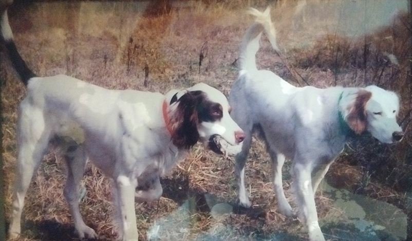 2 English Setters, retrieving