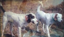 2 English Setter bird dogs
