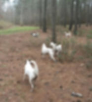 5 hunting dogs in the woods