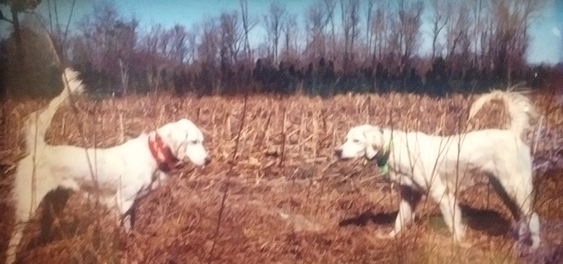 2 English Setter bird dogs