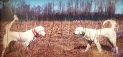 2 bird dogs in the field
