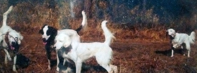 4 English Setter bird dogs