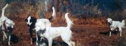 4 English Setter bird dogs