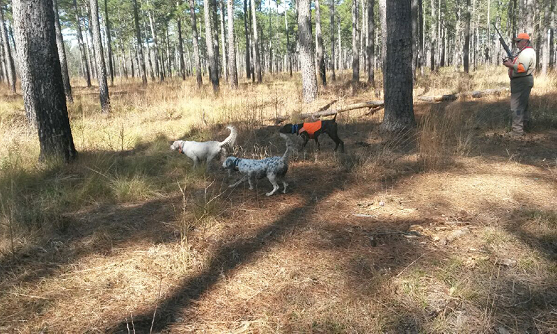 3 bird dogs and a hunter