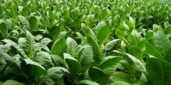 Tabakplantage in der Dominikanischen Republik