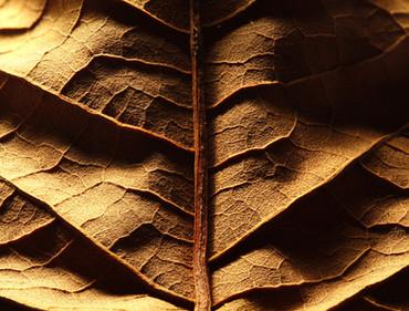 Tabakblatt für Zigarren