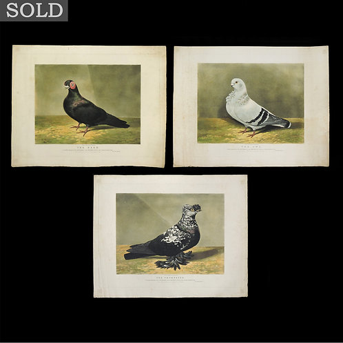 Three Victorian Hand Coloured Aquatints of Pigeons after Dean Wolstenholme