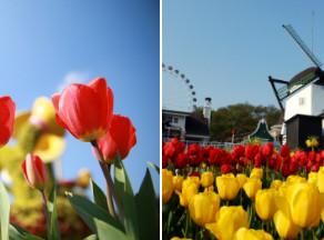 ทุ่งดอกทิวลิป 1.2 ล้านดอก สำหรับ เทศกาลดอกทิวลิป เอเวอร์แลนด์