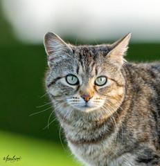 Hauskatze _ Domestic cat