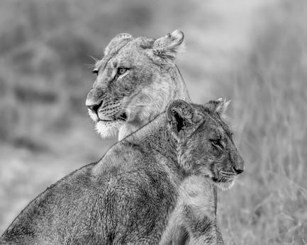 Lion mom&cub8908.jpg