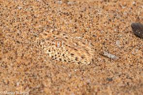 Bitis peringueyi Namib Desert.jpg