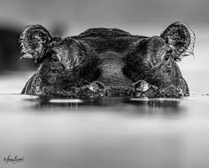 Hippo closeup B&W1022.jpg