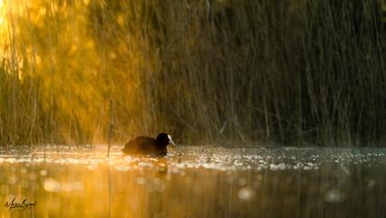 Blesshuhn bei Sonnenaufgang.jpg