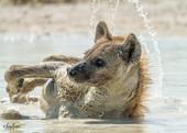 Spotted Hyena-0865.jpg