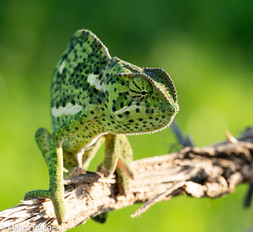 Chameleon KwaMbili Southafrica.jpg