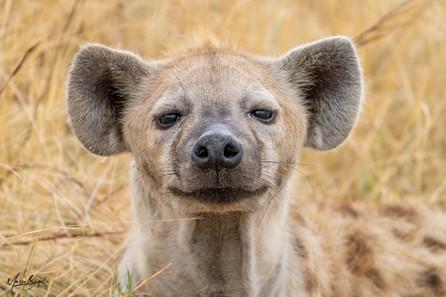 Spotted Hyena FB.jpg