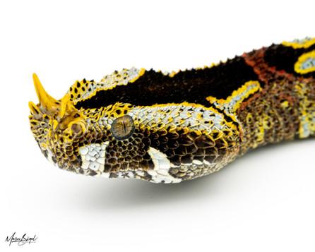 Nasicornis_FB-340.jpg