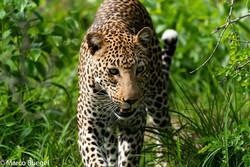 Leopard KwaMbili Private Park.jpg