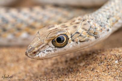 Namib Sand Snake2020.jpg