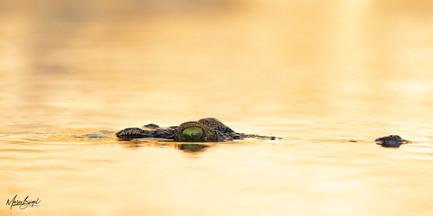 Nile Croc5423.jpg