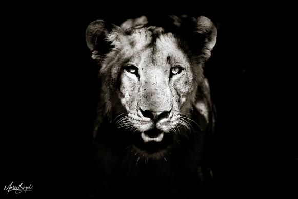 Lioness Chobe River5127.jpg