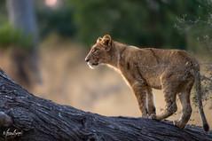 Lion Cub Okavango Delta_ISO12800 00350.jpg