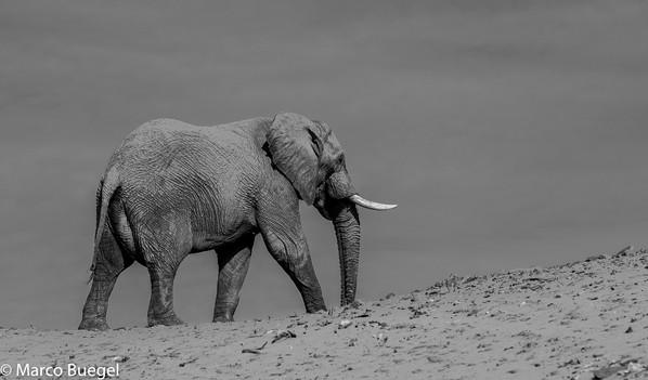 Desert adapted Elefant Aba Huab Namibia.