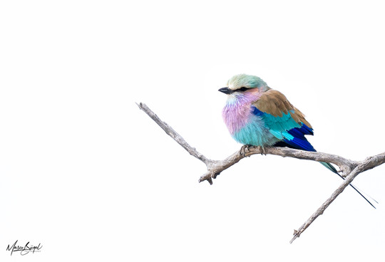 Lilac breasted Roller 00511.jpg
