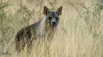 Brown Hyena-1287.jpg