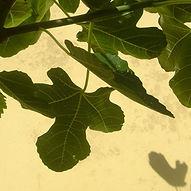 Figenblade skygge Odsherred Terapihave