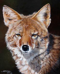 """""""Coyote Stare"""""""