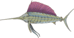 Sailfish.png