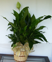 Peace Lily 03