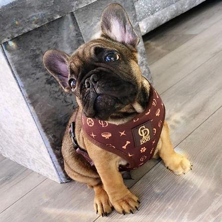 CatwalkDog-Frenchie-Pup-Monogram.jpg