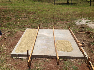 Experiments in Coffee Drying and Quality