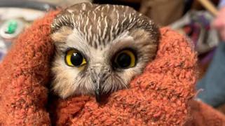 圣诞节:小猫头鹰意外藏身云杉潜入纽约